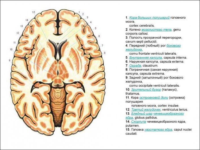 Interna De La Cápsula Del Cerebro Capsula Interna La